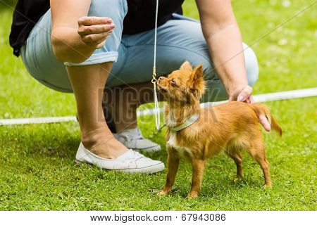 Chihuahua And Handler