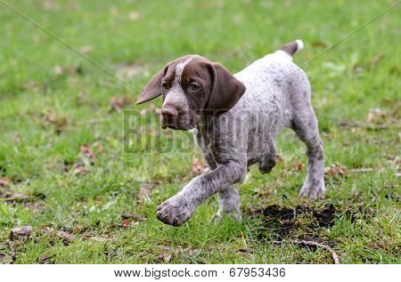 german shorthaired pointer puppy outside in the grass
