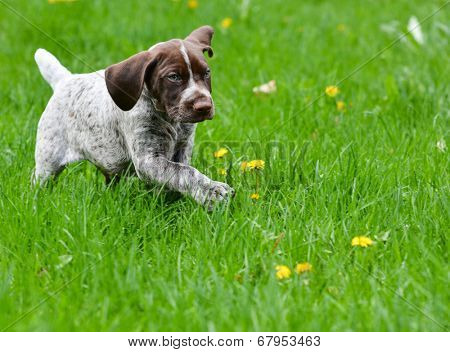 puppy running in the dandelions - german shorthaired pointer puppy