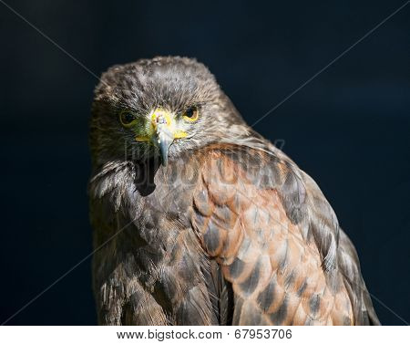 Closeup Of Harrier Hawk