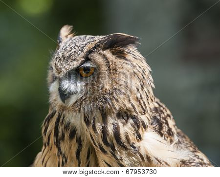 Closeup Of European Eagle Owl