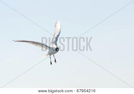 Flying gull (mew, seagull)