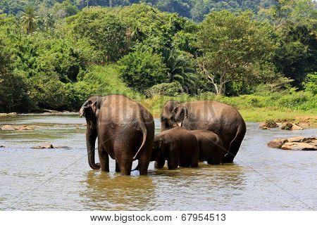 Elephants in river. Take in Pinawelle, Sri Lanka
