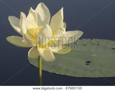 Caddo Water Lily