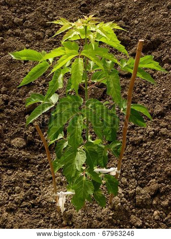 ash-leaved maple sapling more than three months from germination