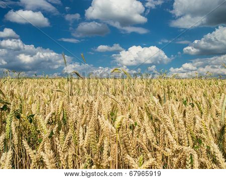 Wheat Field Under A Partly Cloudy Sky