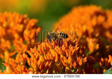 Butterfly Weed With Honey Bee