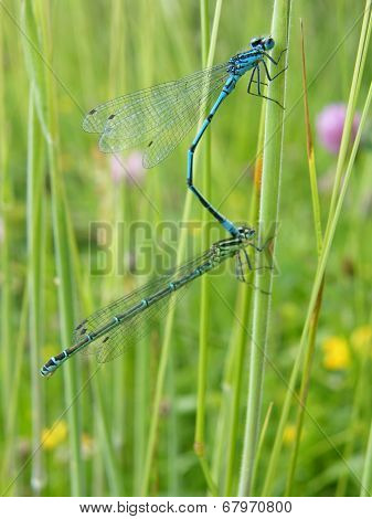 Azure Danselflies (mating pair)