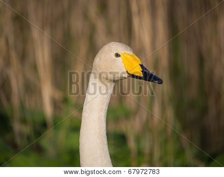 Solitary wild swan