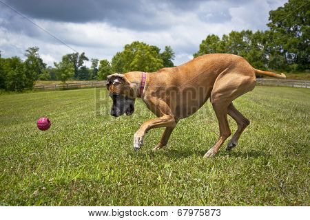 Great Dane focused on ball