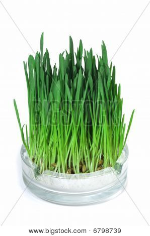 Green Grass Growing In The Ashtray