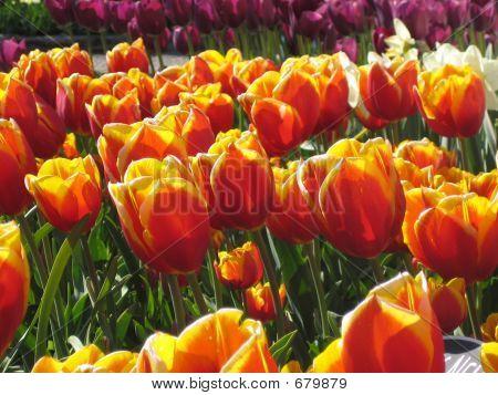 Tulip Alley