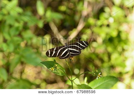 Zebra Longwing Butterfly In A Sub-tropical Forest