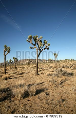 The Mighty and Majestic Joshua Tree stands tall and strong against the desert sun and heat in the Joshua Tree National Forest and Mohave Desert. Supplying refuge for desert animals to live.