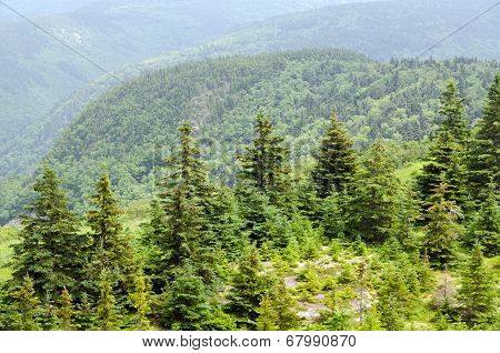 Forest In The Cape Breton
