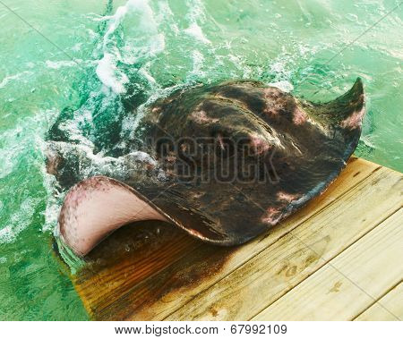 Big stingray emerges from water