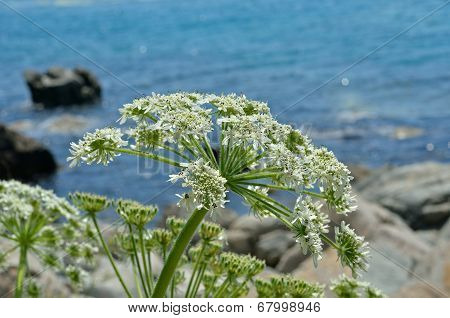 Blooming Angelica