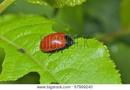 Leaf-cutting Beetle