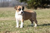 image of american staffordshire terrier  - Gorgeous little puppy of American Staffordshire Terrier standing alone in nature - JPG