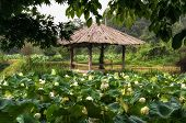 stock photo of shacks  - White lotus flower pond with a wooden shack - JPG