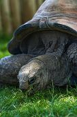 stock photo of tortoise  - close up of a giant galapagos tortoise feeding on green grass - JPG