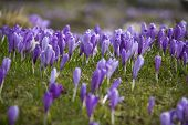 image of velika  - Beautiful spring crocuses on Velika Planina plateau in Slovenia - JPG
