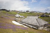 pic of velika  - Spring crocuses on Velika Planina plateau in Slovenia - JPG