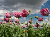 pic of opium  - Close up of pink opium poppies in full blossom - JPG