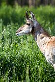 picture of antelope horn  - close up of a prong horn antelope over green spring grass