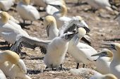 picture of gannet  - Colony of Northern Gannets sunbathing off Bonaventure Island Quebec - JPG