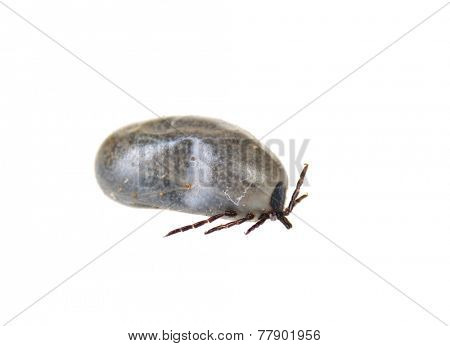 closeup of a Black-legged or Deer tick, (Ixodes scapularis)  a few days after engorging blood from a dog