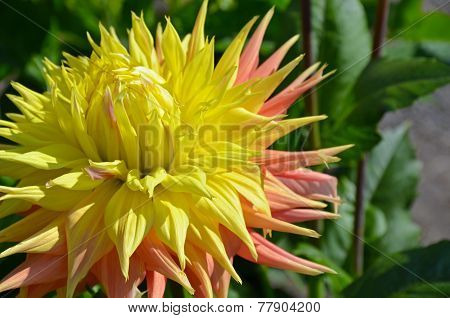 Yellow Dahlia In Sunlight