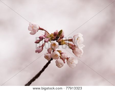 Cherry blossom flower buds in early spring.