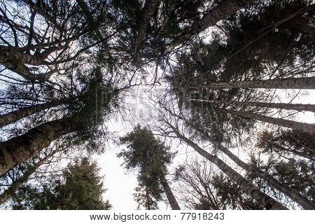 The Crowns Of Trees