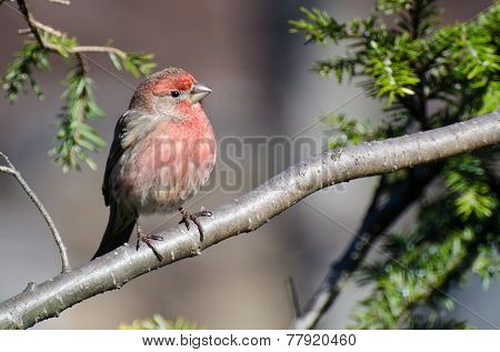 Male House Finch Perched On A Branch