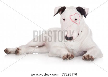 adorable white english bull terrier puppy
