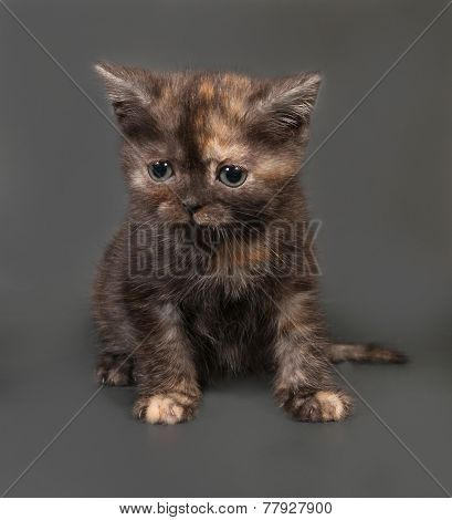 Red And Black Scottish Fold Kitten Sits On Gray