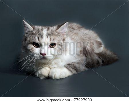 White And Gray Cat Scottish Fold Lies On Gray