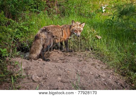 Red Fox (vulpes Vulpes) Vixen Guards Den Entrance And Kits