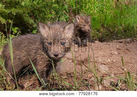 Red Fox Kits (vulpes Vulpes) Stand At Densite
