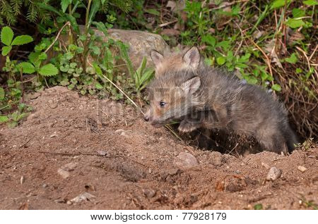 Red Fox Kit (vulpes Vulpes) Springs Out Of Den