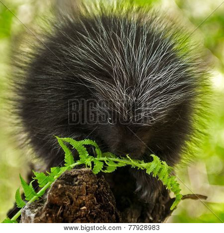 Porcupette (erethizon Dorsatum) Chews On Fern