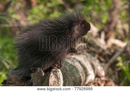 Porcupette (erethizon Dorsatum) Looks Up