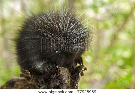 Porcupette (erethizon Dorsatum) Chews On Branch