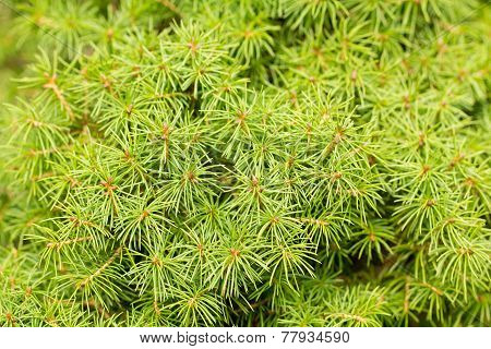 Dwarf White Spruce Background