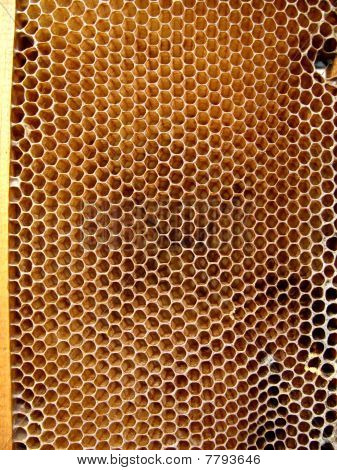 apis rodopica cells