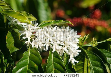 Coffee Tree,  Coffee Flower