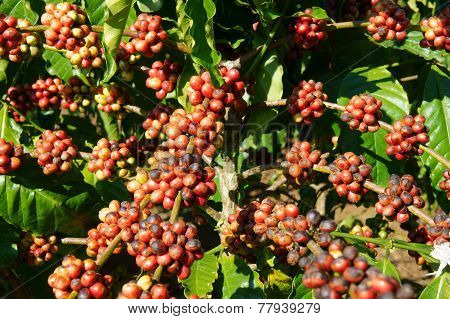 Vietnam Coffee Tree, Coffee Bean