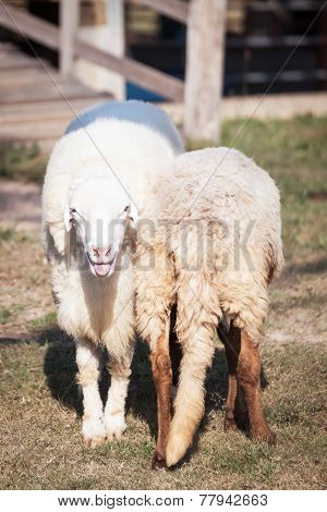 Sheep Looking And Smiling And Back Of Sheep