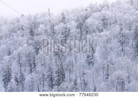 The Snow White Tree, Hokkaido, Japan